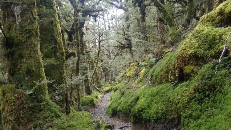 Te Araroa Trail Day 104 - Mossy forest on the Greenstone track