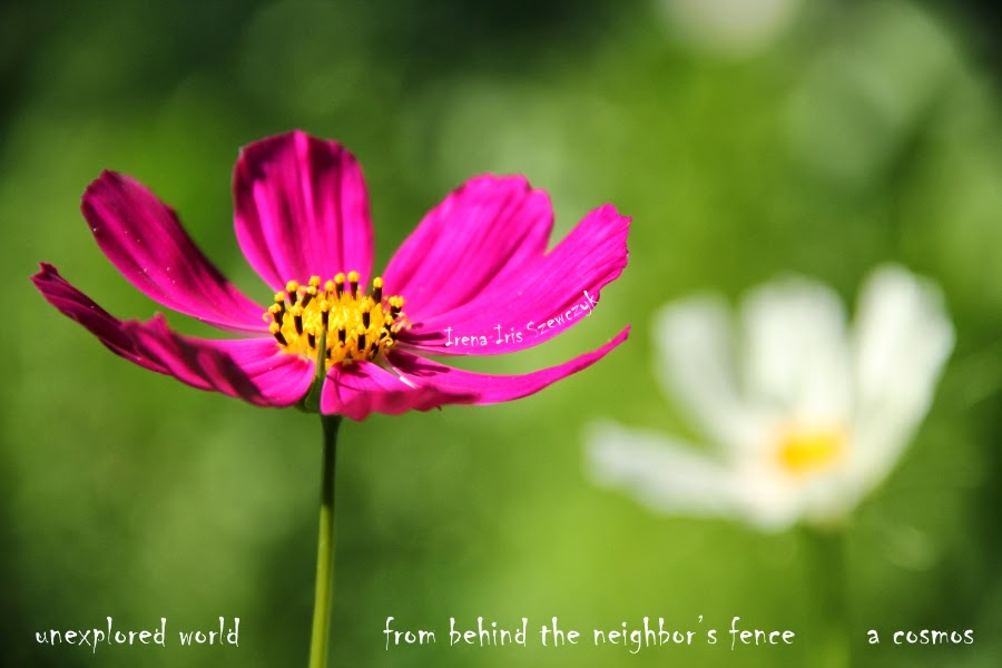 unexplored world / from behind the neighbor's fence / a cosmos