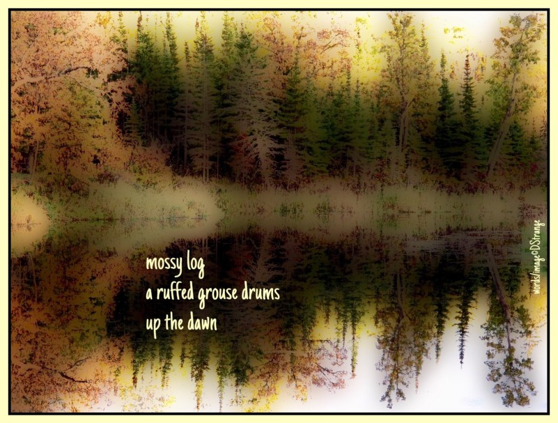 mossy log a ruffled grouse drums up the dawn  (haiga)