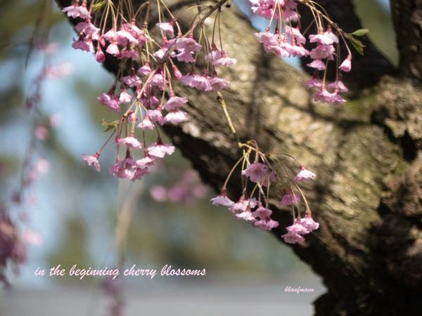 """photo of cherry blossoms on a branch, with one line of text at the bottom reading """"in the beginning cherry blossoms"""""""