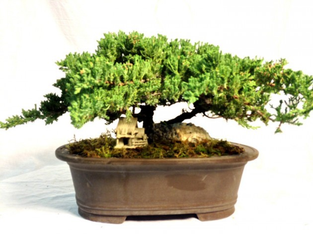 15 years trained Juniper Bonsai in Fine ceramic Zisha pot