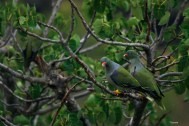 african_green_pigeon