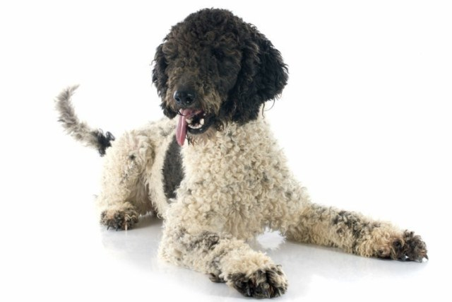 Do Portuguese Water Dogs Bark