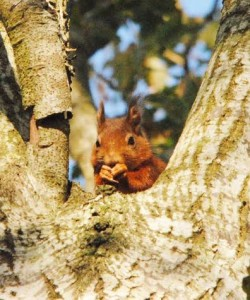 Red squirrel photographed by Brian Power who volunteered at many of the MISE project events