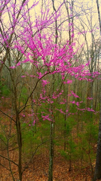 Red bud tree near my house.