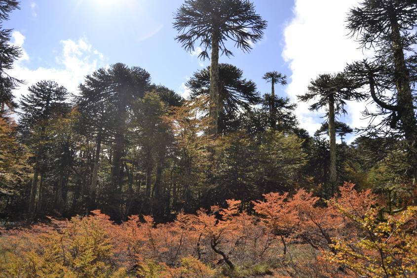 Alberi e colori all'interno del Parque Huerquehue a Pucon in Cile
