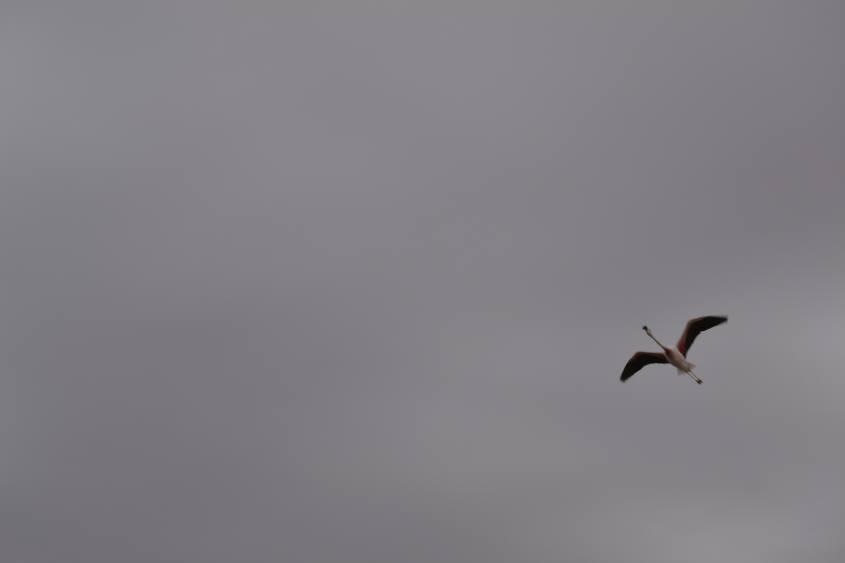 Fenicottero in volo nella Riserva Nazionale dei Fenicotteri nel deserto di Atacama in Cile