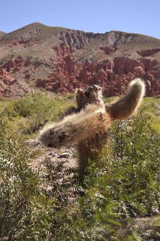 Strano cactus nella Quebrada de las Señoritas vicino Tilcara in Argentina
