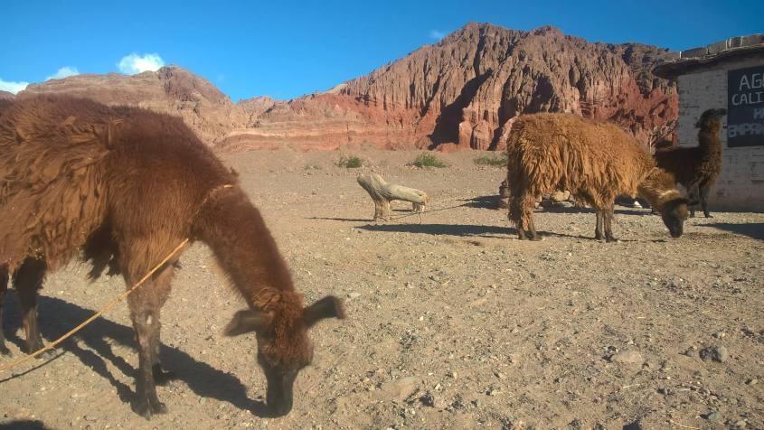 Alpaca e paesaggi sulla strada da Cafayate a Salta in Argentina