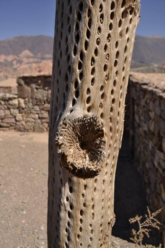 Dettaglio del legno di cactus