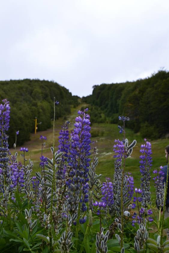 Fiore Lupinos ad Ushuaia Patagonia argentina