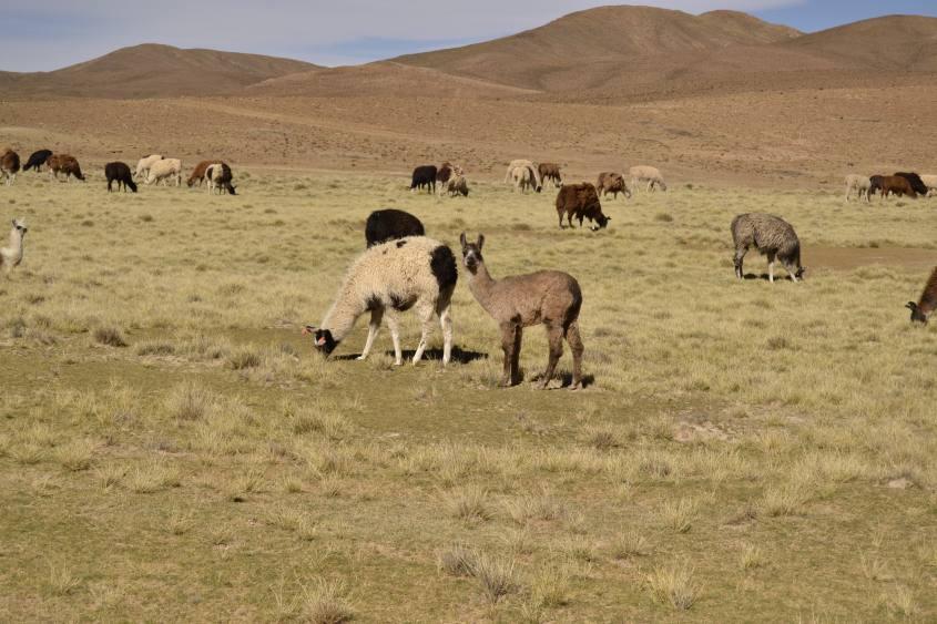 Allevamento di lama durante il tour verso il Salar di Uyuni in Bolivia