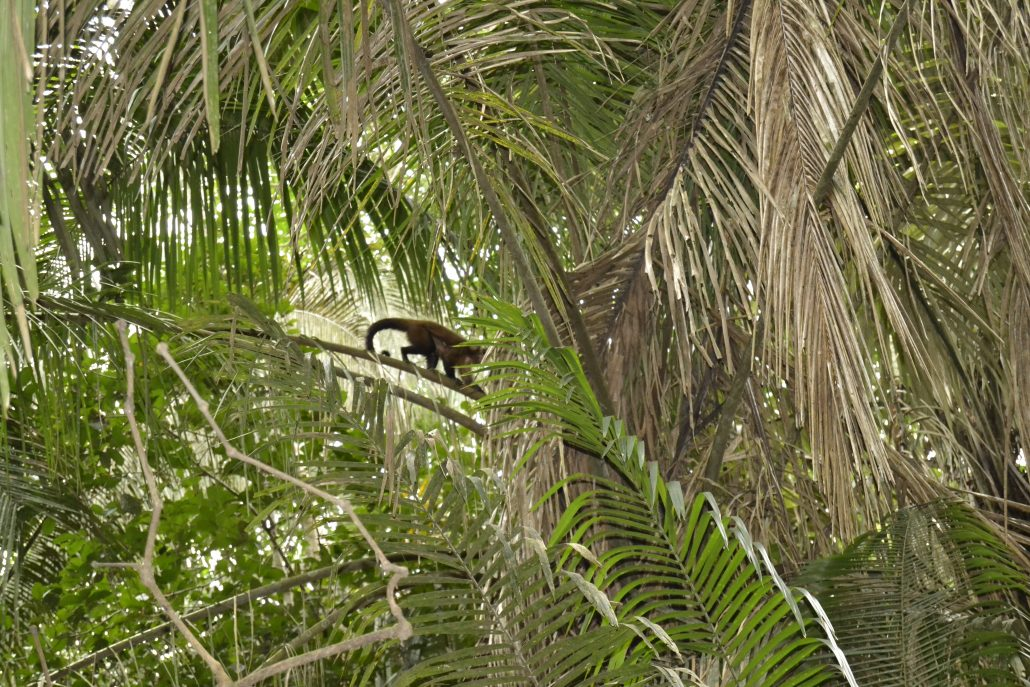 Scimmie nell'Amazzonia peruviana