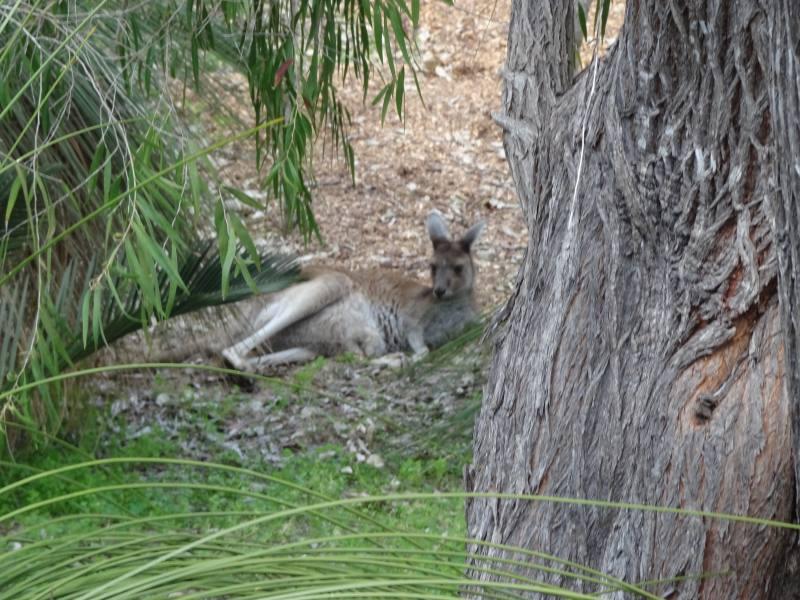 Canguro a riposo nel verde di Heirrison Island