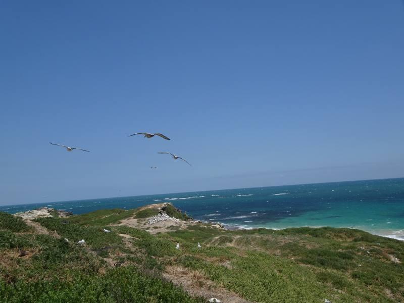 Pellicani in volo sopra l'oceano a Penguin Island a Perth
