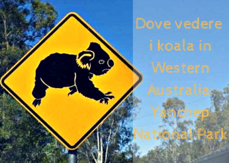 Vedere i koala in Western Australia: YANCHEP NATIONAL PARK