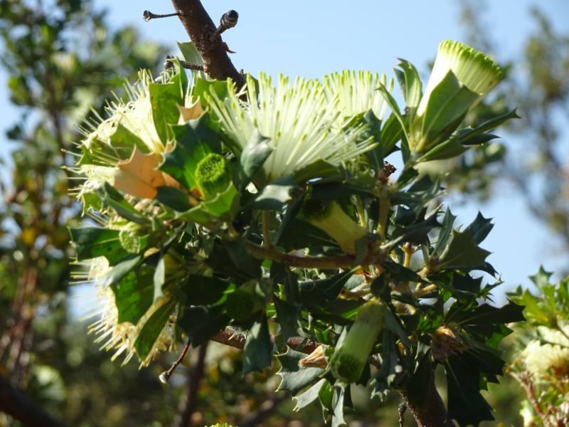 Fiori dell'eucalipto Tuart nel percorso Dwerta Mia