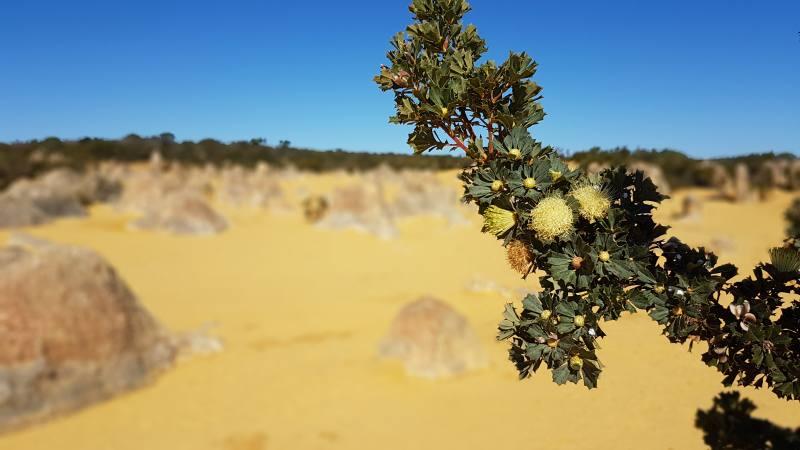 Fiore giallo nel Deserto dei Pinnacoli