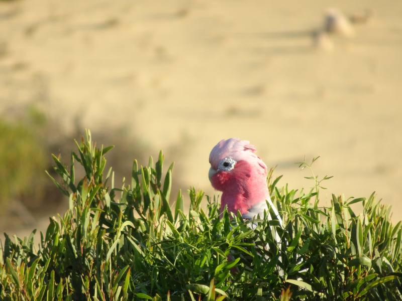Uccello Galah nel Deserto dei Pinnacoli