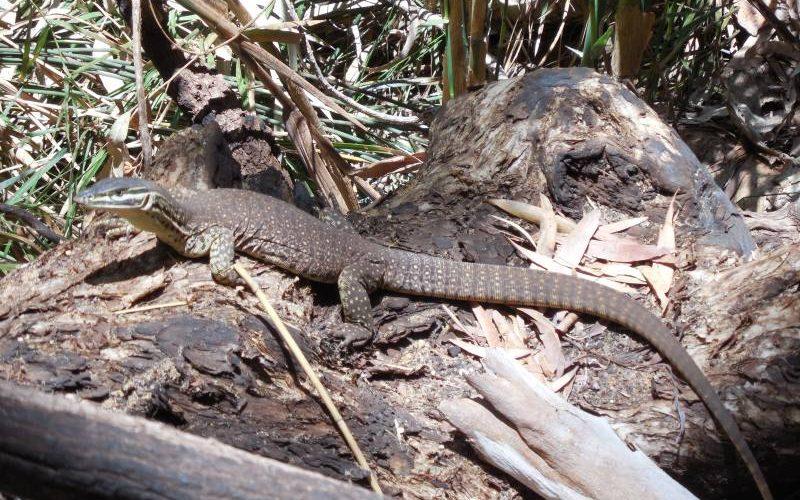 Il varano (goanna), simbolo del Parco di Karijini