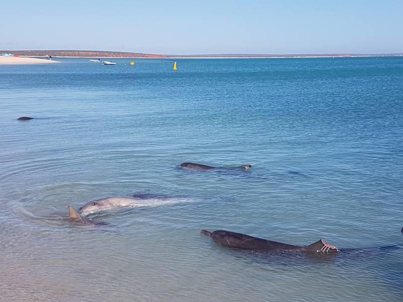 Incontro con i delfini a Monkey Mia a Shark Bay