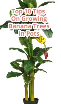 Top 10 Tips On Growing Banana Trees In Pots
