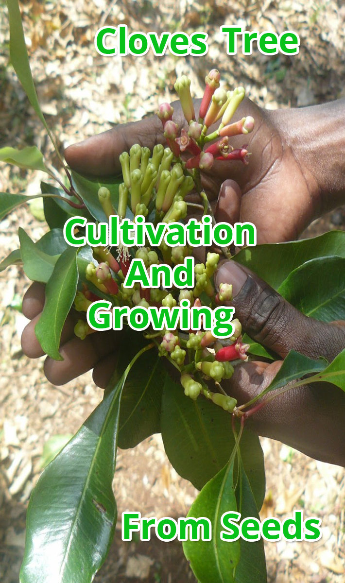 Cultivation And Growing Cloves From Seeds