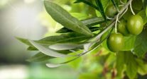Benefits For Cardiovascular Health And Brain Function - Olive Leaf