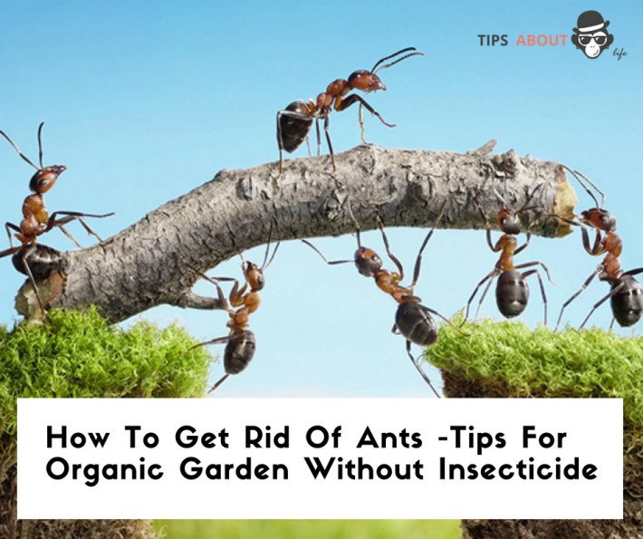 How To Get Rid Of Ants – Tips For Organic Garden Without Insecticide
