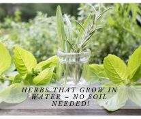 Herbs That Grow In Water – No Soil Needed!