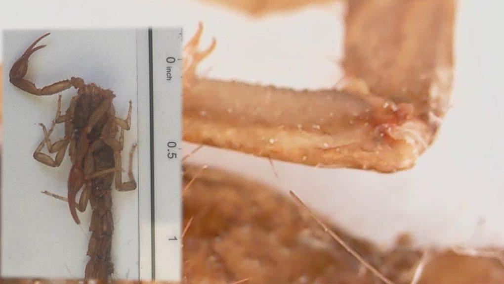 alacran visto en microscopio usb