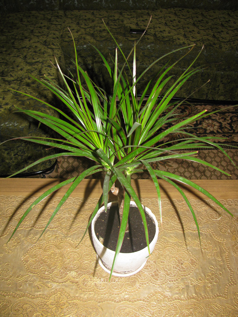 Is It True that Dracaena Poisonous to Cats and Dogs Is?
