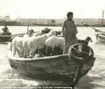 goats on abra