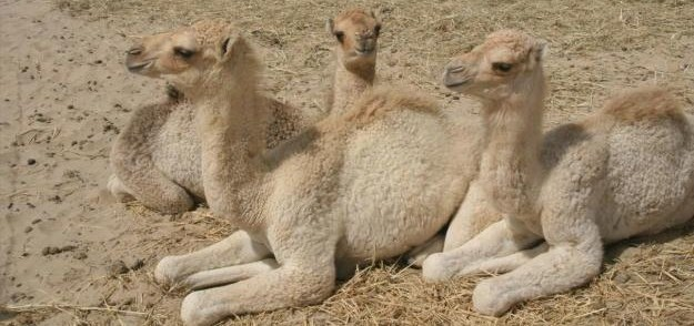 cropped-cropped-camels2.jpg