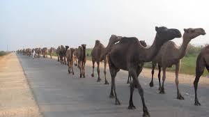 E50 herd of cqamels 2