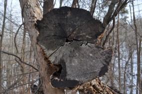 Bear Mountain - chopped tree