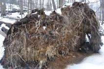 Bear Mountain - overturned tree