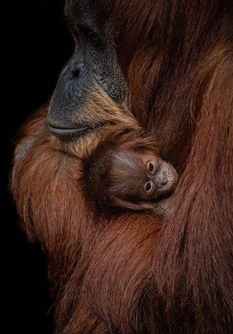 The cute Chester Zoo baby Orangutan.