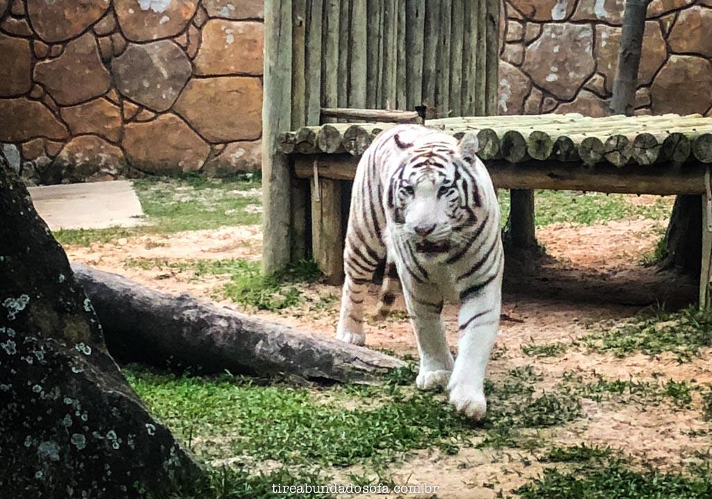 tigre branco no parque beto carrero
