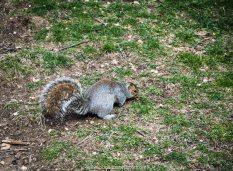 esquilo no central park em nova york