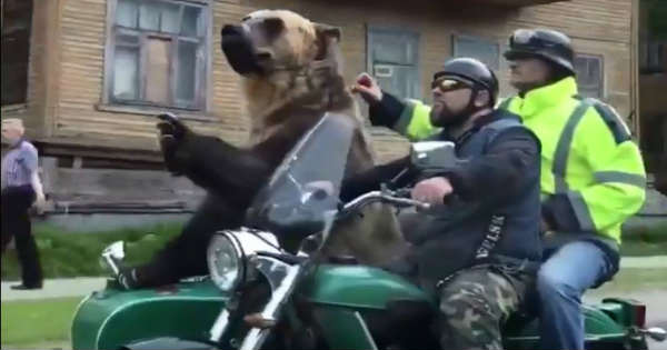 Only in Russia Bear Riding in Motorcycle Sidecar 2