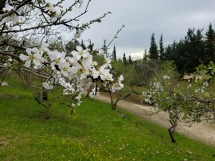 The almond blossoms in the winter