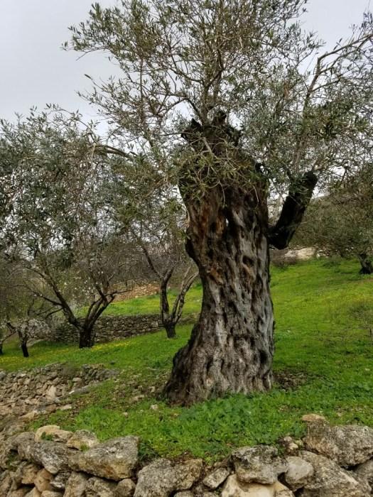400 year olive tree