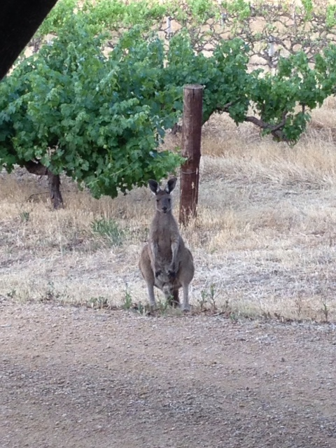 """DonnaG: """"As a gift I went and took a photo of one if the kangaroos that live on the property. There are many."""""""