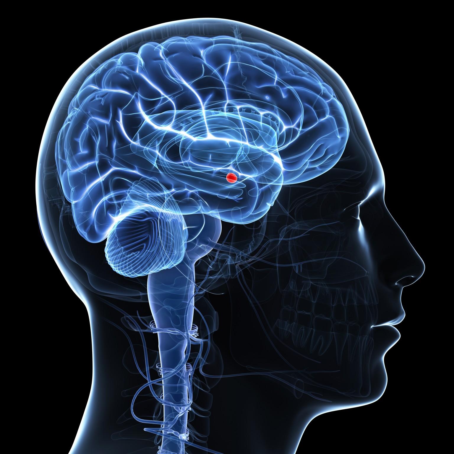 La amygdala del cerebro