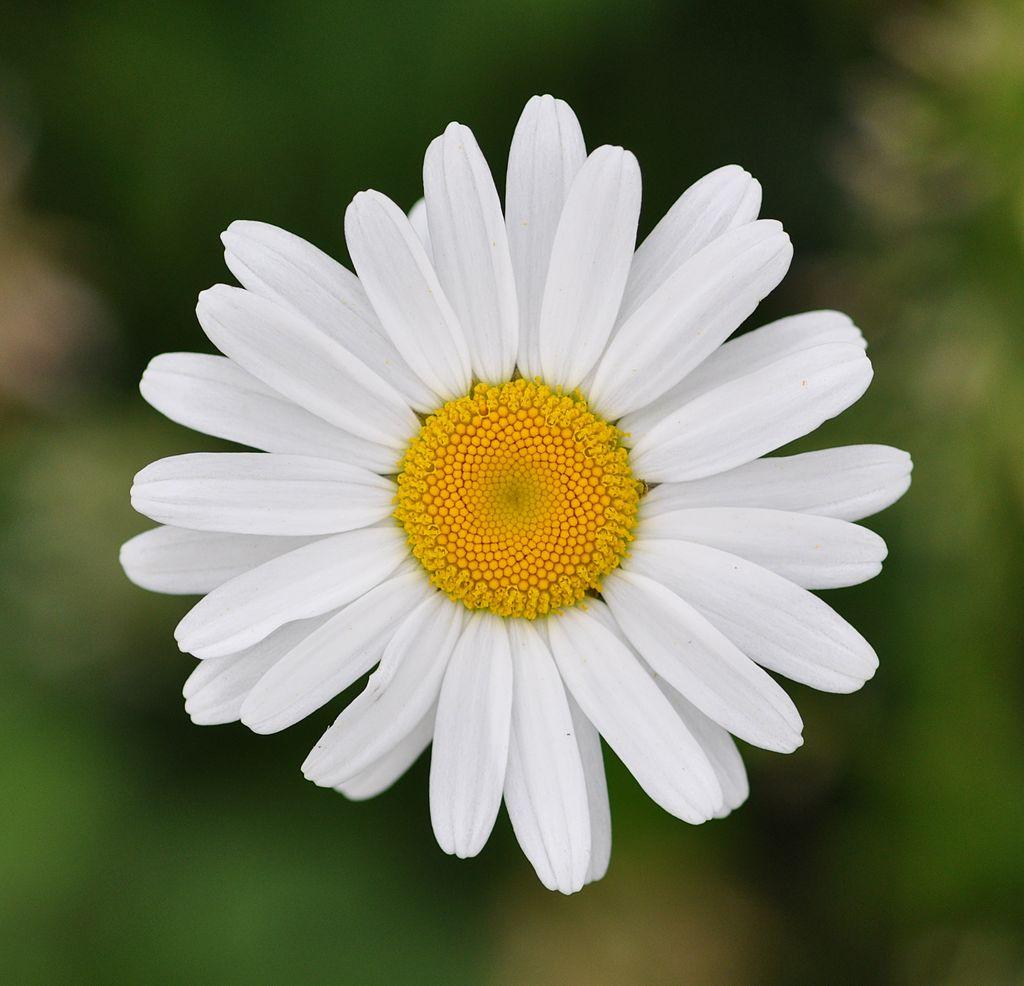 Marguerite fleur vivace comestible