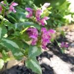 lamier fleur comestible