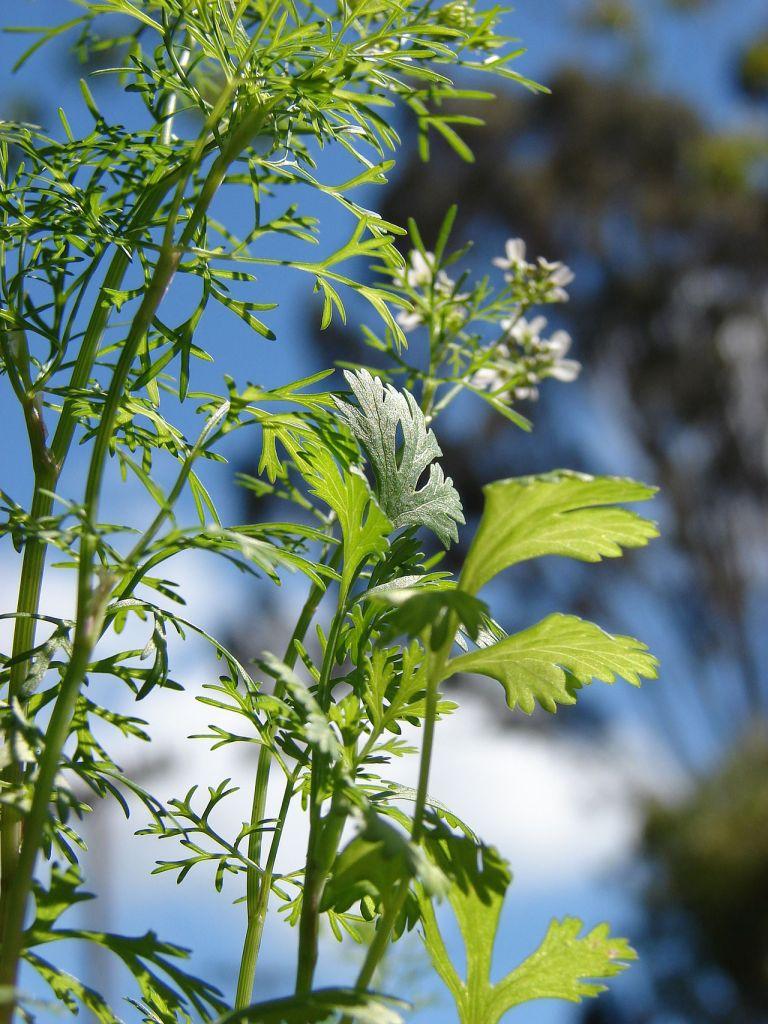 Différentes feuilles de Coriandre