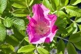 rose ruguese