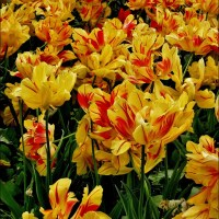 Tulips' Last Hurrah And A Gardening Legend